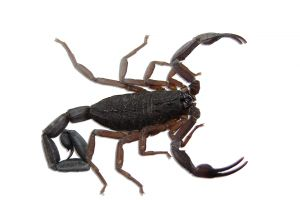 scorpion 5 MOST DANGEROUS HOUSEHOLD PESTS